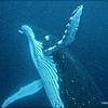 Humpback Whale Escort