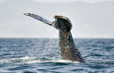 whale w/ barnacles _S8Q9064