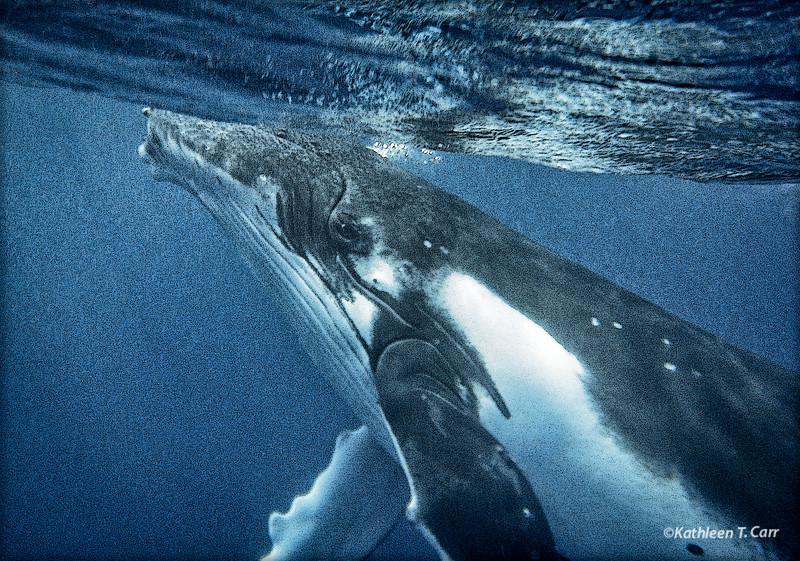 Humpback Whale Gaze