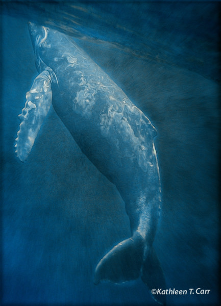 Baby Humpback Whale Breathing