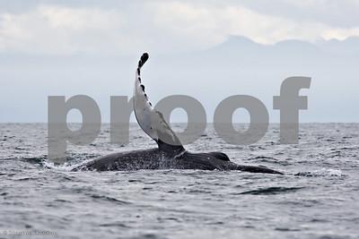 20070716-whale fluke tahsis--Edit