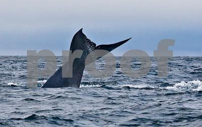 Blue Whale    20070831-_V2R6144-Edit