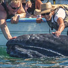 Touching a Baby Gray Whale