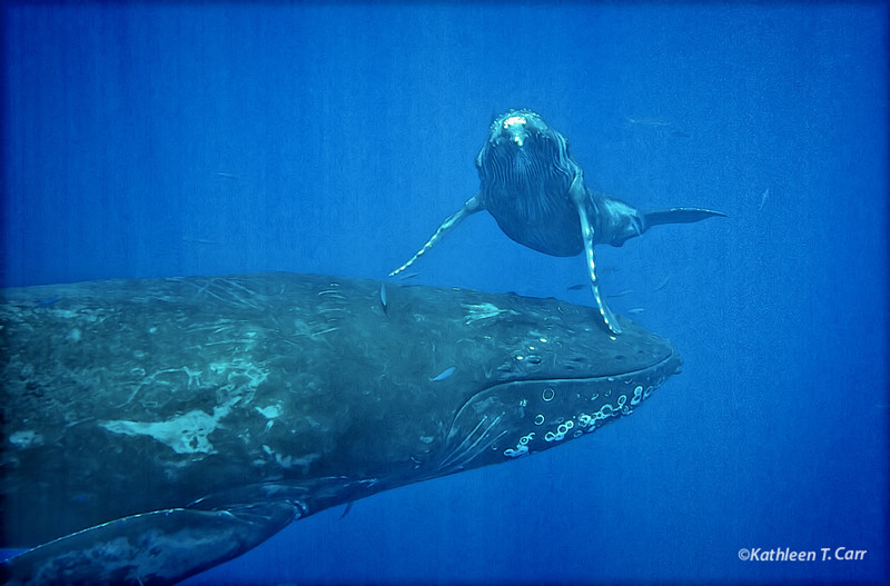 Baby Humpback Whale Peeking over Mom