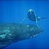 Baby Humpback Whale Peeking over Mom