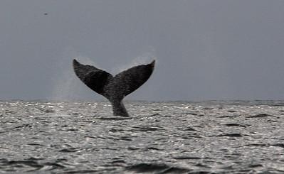 Whaletail    0030