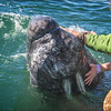 Touching Baby Gray Whale #1275