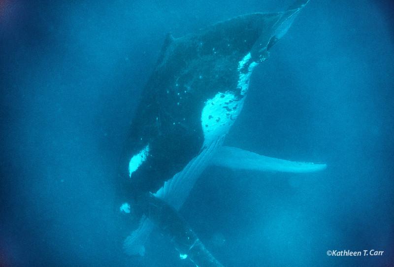 Humpback Whale Singing