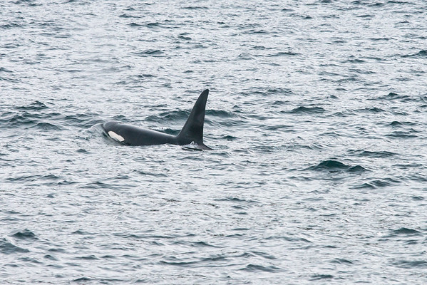 Orca, Killer Whale, - Lofoten