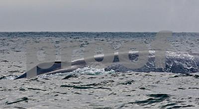 Blue Whale     20070831-_V2R6118-Edit