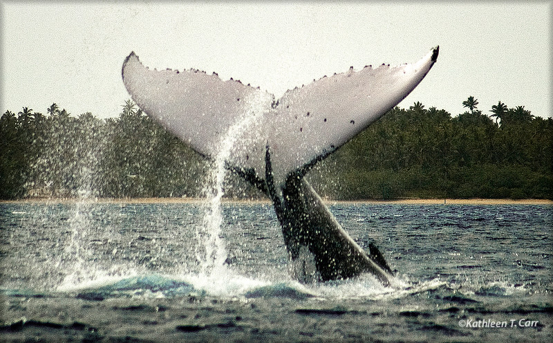 Humpback Whale Tail Slap