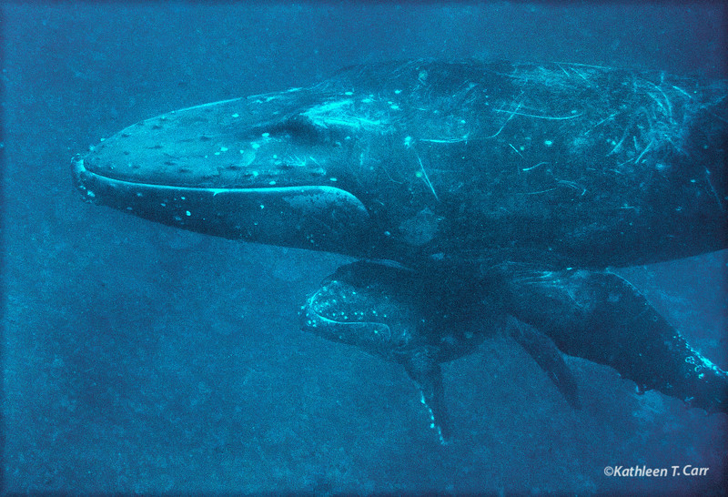 Humpback Mother and Baby Whale