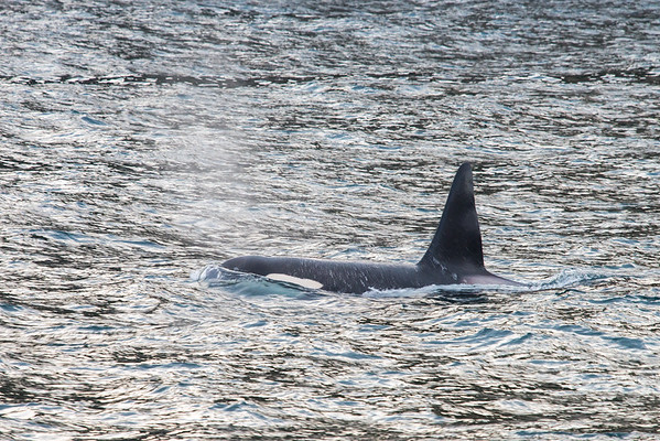 Orca - Killer Whale - Lofoten, Norway