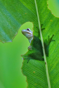 Tree frog on Alligator Flag leaf