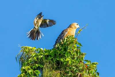 Mockingbird and Red-Shouldered Hawk