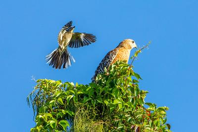 Mockingbird and Red-Shouldered Hawk