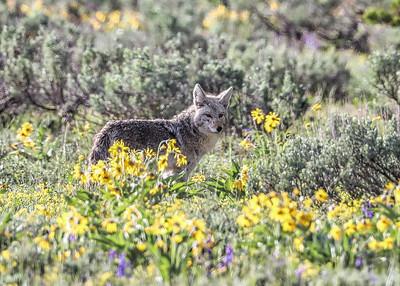 Coyote sage & flowers