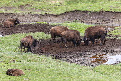 Young Buffalo playing