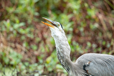 Great Blue Heron swallowing fish