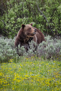 Grizzly Bear #399