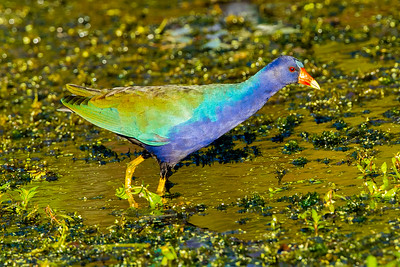 Male Purple Gallinule