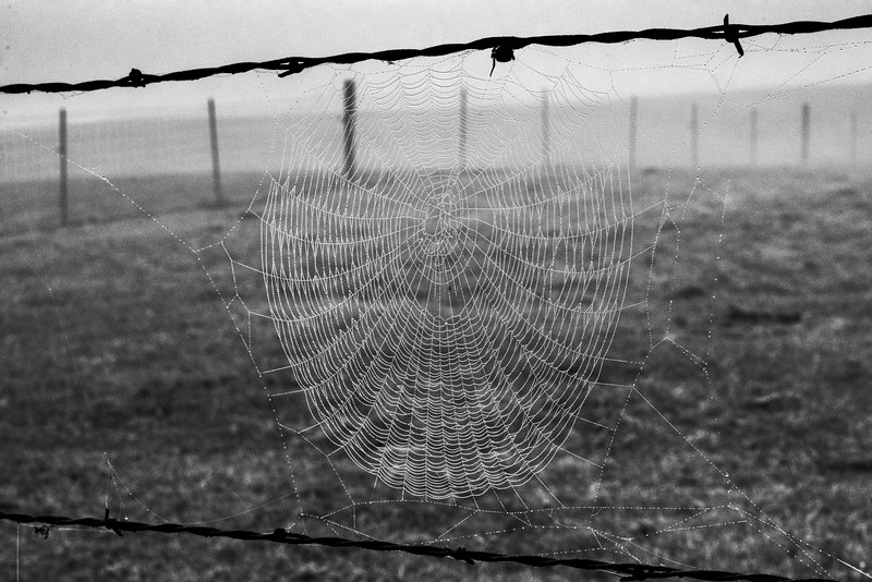 The webmaker lingers on the barbed wire strand, as if it doesn't want to get its legs wet in the morning dew.