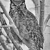 Aspen Owl