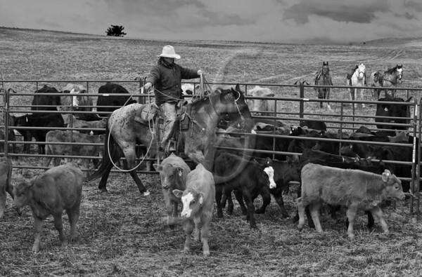 Roping the Calves