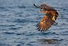 White Tail Sea Eagle with a Fish. John Chapman.