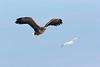 White tail Sea eagle eyeing up Gull.
