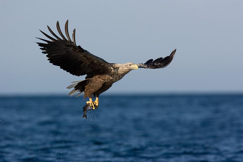 White Tail Eagle. John Chapman..