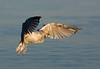Herring Gull Immature. John Chapman.