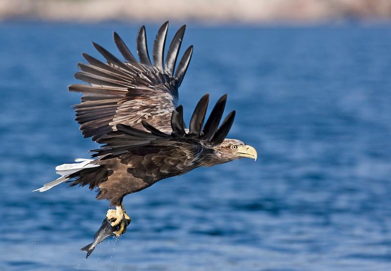 White Tail Sea Eagle with Fish. John Chapman.