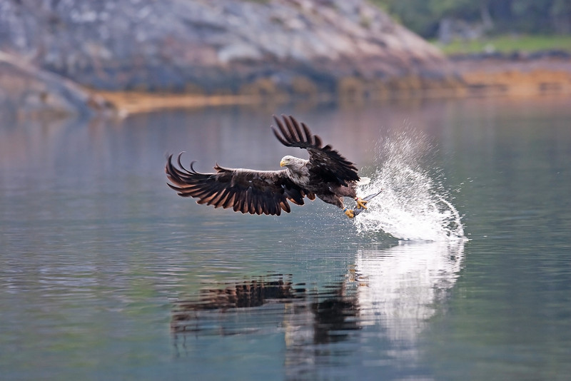 White Tail Sea eagle with a Fish.
