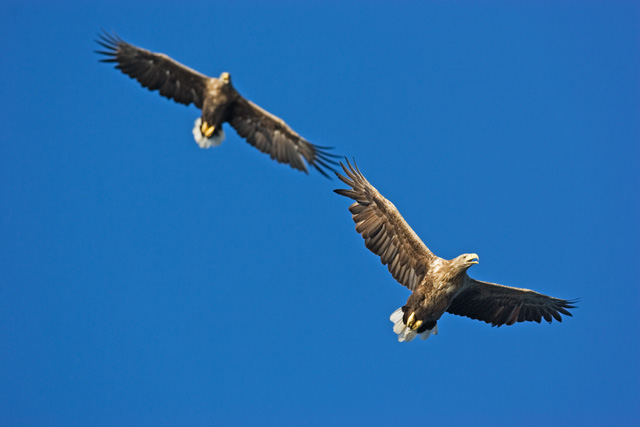 White Tail sea Eagles. John Chapman.