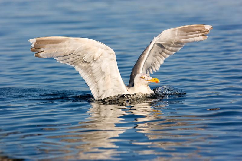 Herring Gull. John Chapman.