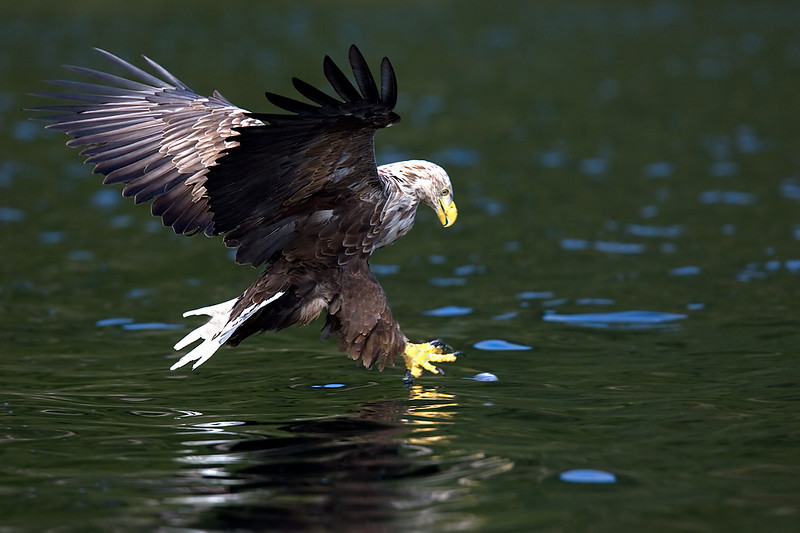 White Tail Sea Eagle. John Chapman.