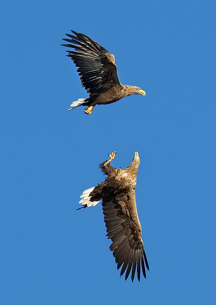 White Tail Sea Eagles. John Chapman.