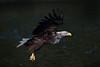 White Tail Sea Eagle.