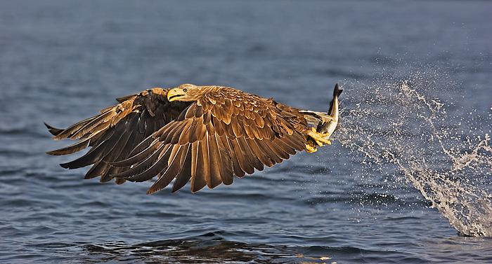 White Tail Eagle with a Fish. John Chapman.