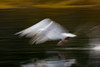 Arty  Herring Gull.