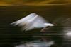 Arty  Herring Gull.