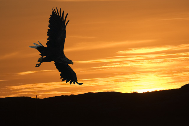 White Tail Sea Eagle at Sunset. John Chapman.