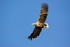 White Tail Eagle. John Chapman.