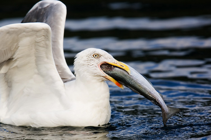 Herring Gull with a Big Fish. John Chapman.