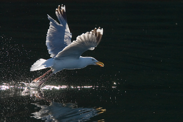 Gull. John Chapman.