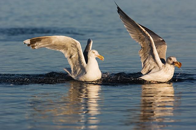 Herring Gulls. John Chapman.