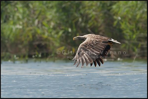 White tailed Eagle - Aquila di mare ( Haliaeetus albicilla )  Giuseppe Varano - Nature and Wildlife Images - Birds and Nature Photography