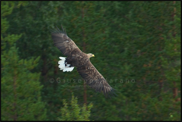 White tailed Eagle - Aquila di mare ( Haliaeetus albicilla )  Giuseppe Varano - Nature and Wildlife Images - Birds and Nature Photography