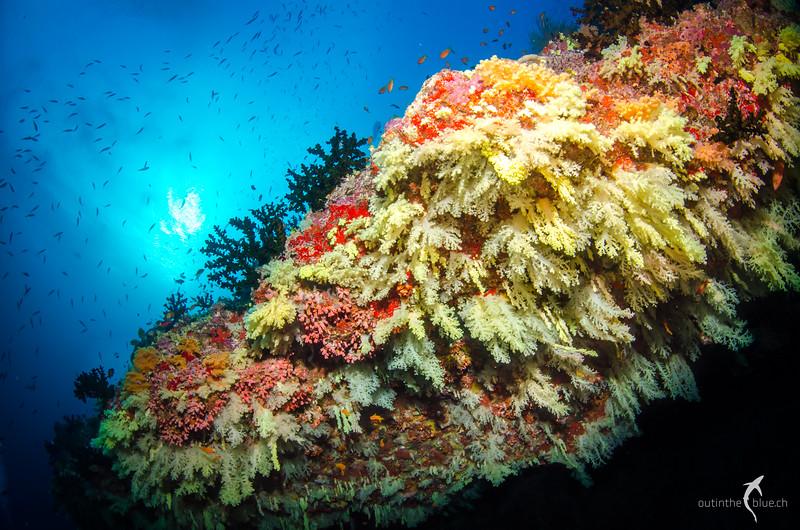 Yellow Soft Corals, Fotteyo Kandu, Felidhoo Atoll, Maldives